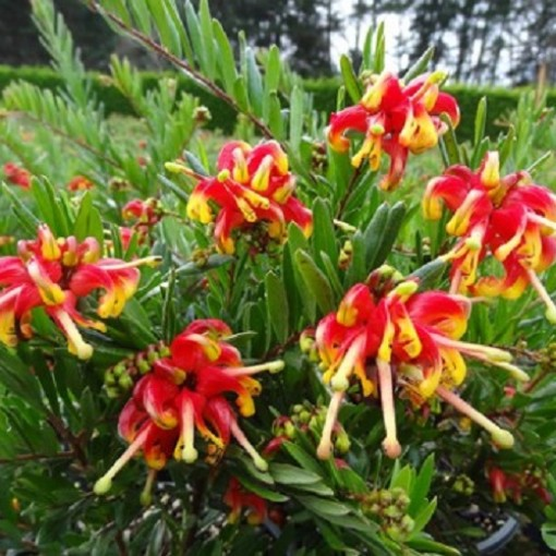 Grevillea 'Ignite' (Flora Toscana)