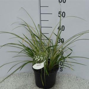Chlorophytum saundersiae 'Starlight'