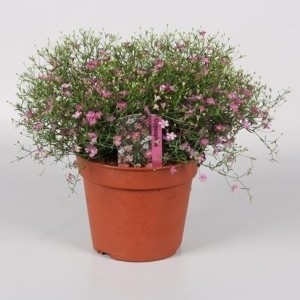 Gypsophila muralis 'Gypsy' (Endhoven Flowering Plants)