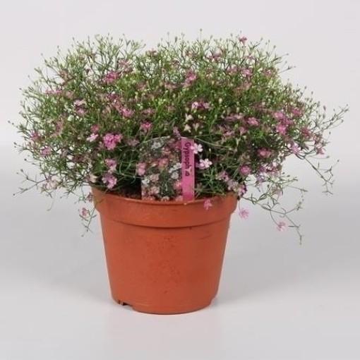Gypsophila muralis 'Gypsy' (Endhoven Flowering Plants)