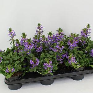 Scaevola aemula 'Purple Haze' (Sonneveld Plants)
