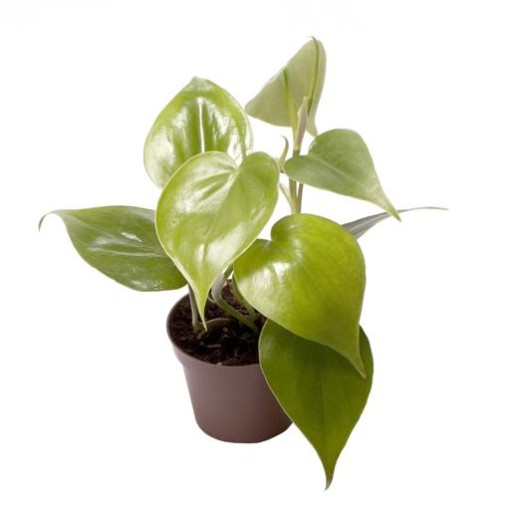 Philodendron scandens (Gasa DK)