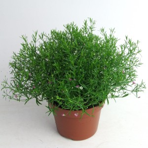 Gypsophila muralis MIX IN POT (Kwekerij Scholte)