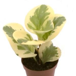 Peperomia obtusifolia 'USA'