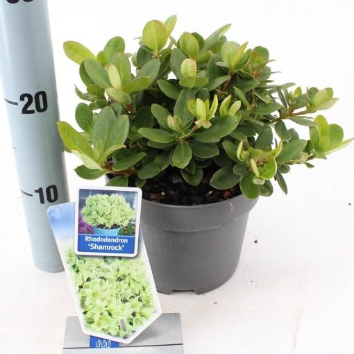 Rhododendron 'Shamrock' (About Plants Zundert BV)