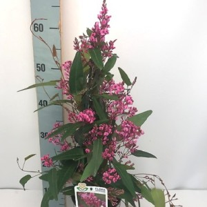 Hardenbergia violacea CANDY WRAPPER