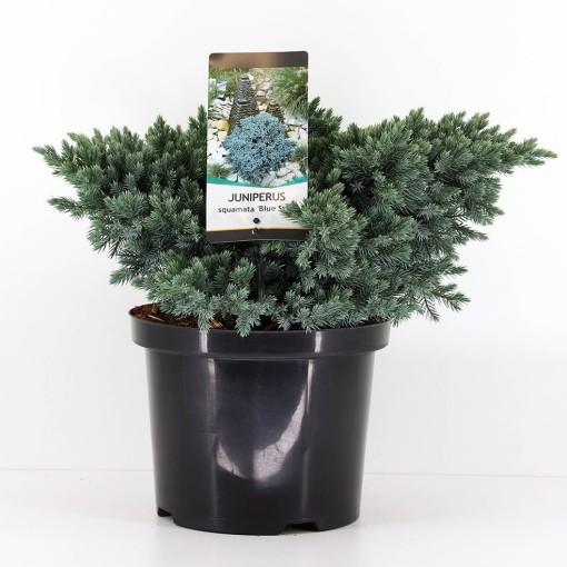 Juniperus squamata 'Blue Star' (Bremmer Boomkwekerijen)