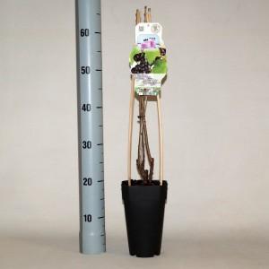 Ribes nigrum 'Wellington XXX'
