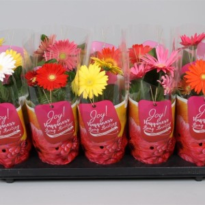Gerbera COLOURGAME MIX (JHL Plants)