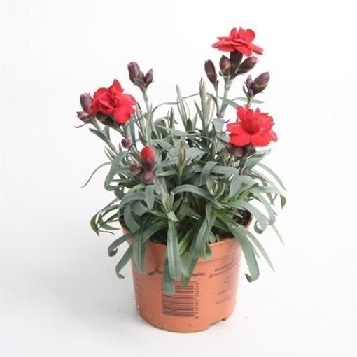Dianthus SUPER TROUPER CARMEN (Rodon Rolff B.V.)