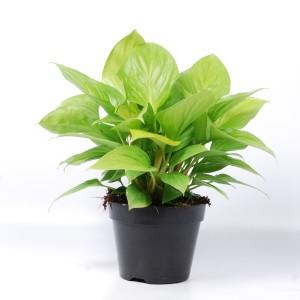 Homalomena 'Lemon Lime' (Van der Arend Tropical Plantcenter)