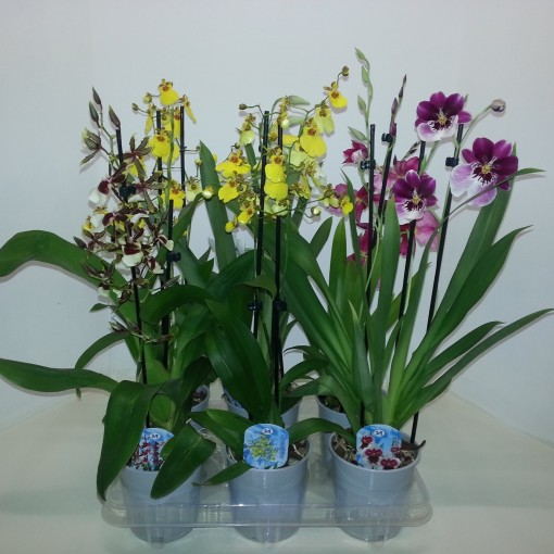 Orchids MIX (Meeslouwer)