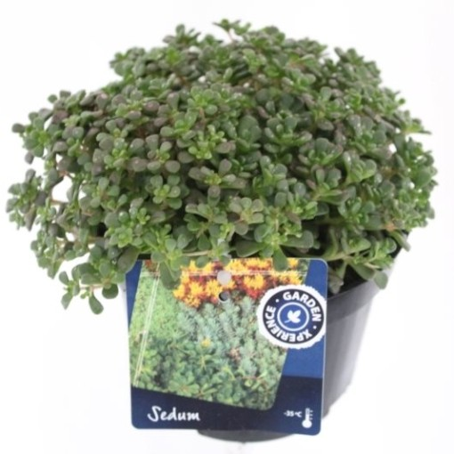 Sedum oreganum (Noordpoel, Kwekerij de)