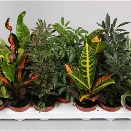 Houseplants MIX (van der Velden, Hkw. )