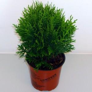 Thuja occidentalis 'Danica' (Boomkwekerij Potcultuur Gebr. Rademaker)