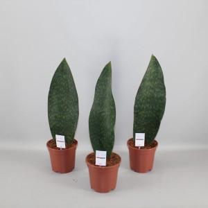 Sansevieria masoniana VICTORIA (Kwekerij Zeurniet)