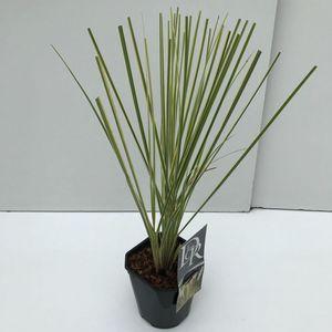 Cortaderia selloana MINIGOLDENPAMPAS