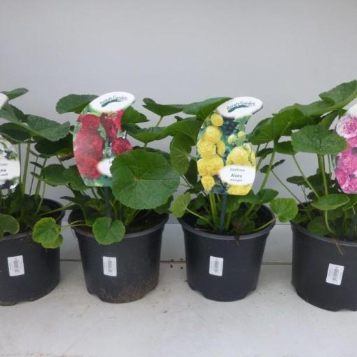 Alcea rosea MIX (Experts in Green)