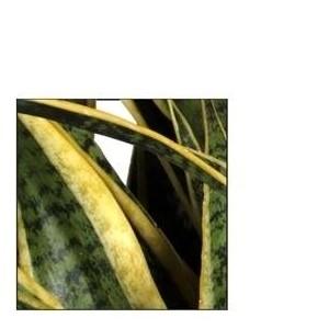 Sansevieria trifasciata 'Laurentii' (JoGrow B.V.)