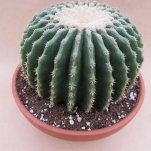 Echinocactus grusonii nudum