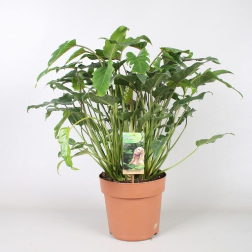 Philodendron xanadu (Vireõ Plant Sales)