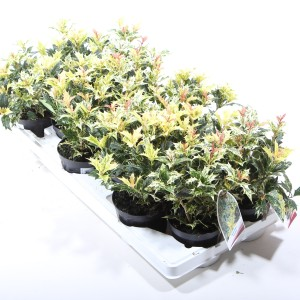 Osmanthus heterophyllus 'Goshiki'
