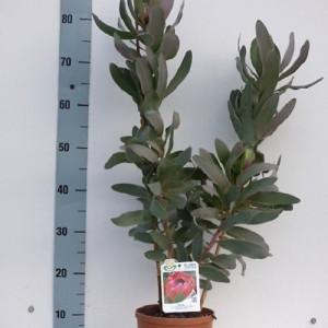 Protea 'Sylvia' (Flora Toscana)