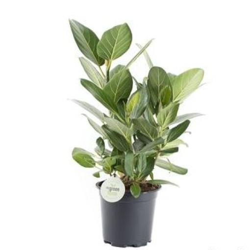 Ficus benghalensis 'Audrey' (Gasa DK)