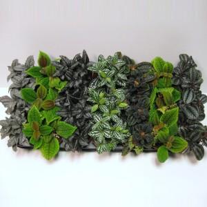 Pilea MIX (Schoenmakers Tropische Potcultures)