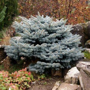 Picea pungens 'Glauca Globosa' (Bremmer Boomkwekerijen)
