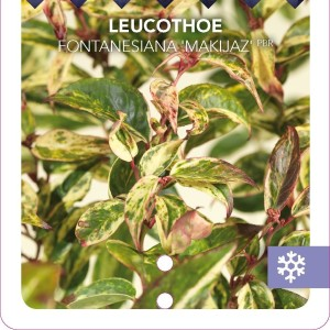 Leucothoe fontanesiana 'Makijaz' (Snepvangers Tuinplanten BV)
