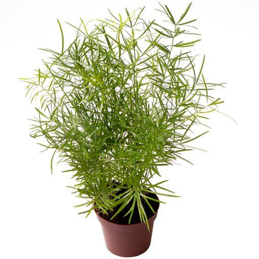 Asparagus densiflorus (GASA Group)