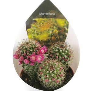 Mammillaria ernestii