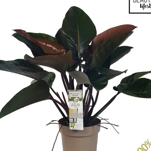 Philodendron 'Red Beauty' (MDK Plants)