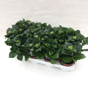 Hydrangea macrophylla 'Bela' (De Liesvelden Kwekerij)