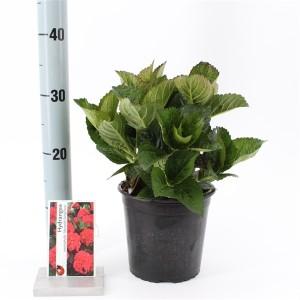 Hydrangea macrophylla 'Merveille Sanguinea' (About Plants Zundert BV)