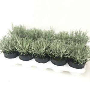 Helichrysum stoechas 'Silverball'