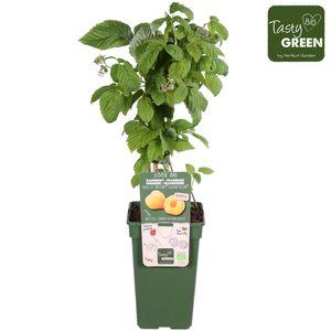 Rubus idaeus TWOTIMER SUGANA YELLOW (Hoogeveen Plants)