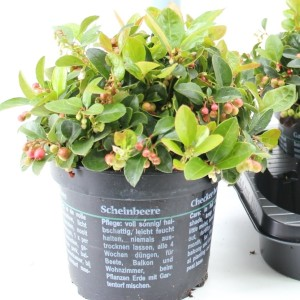 Gaultheria procumbens 'Red Diamond' (About Plants Zundert BV)