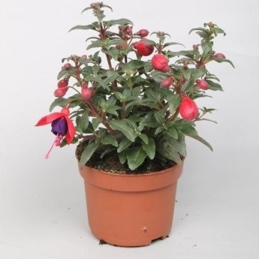 Fuchsia BELLA FUCHSIA SACHA (Rodon Rolff B.V.)
