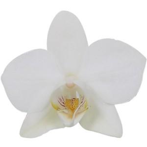 Phalaenopsis FLORICLONE SNOW FLAKE (Ter Laak Orchids Multiflora)