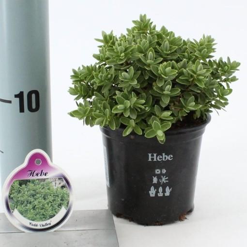 Hebe 'Cobb Valley' (About Plants Zundert BV)