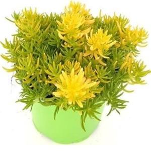 Sedum reflexum 'Yellow Bouquet'