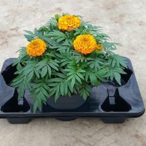 Tagetes ERECTA MIX (Experts in Green)
