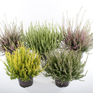 Calluna vulgaris MIX
