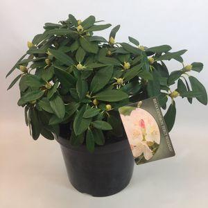 Rhododendron 'Percy Wiseman' (B.D. Rijnbeek Boomkwekerijen B.V.)