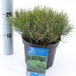 Pinus mugo pumilio (About Plants Zundert BV)