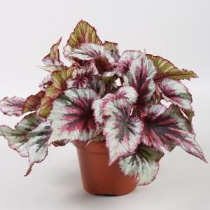 Begonia BELEAF EVENING GLOW