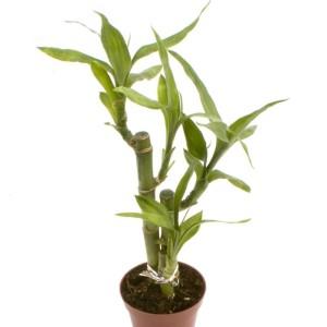 Dracaena braunii 'Lucky Bamboo'