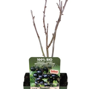 Ribes nigrum LOWBERRY LITTLE BLACK SUGAR